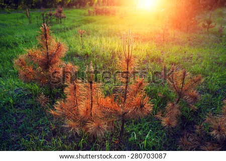 Burn young  pine trees on the grass - stock photo
