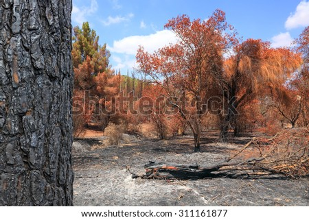 Burned down forest - stock photo