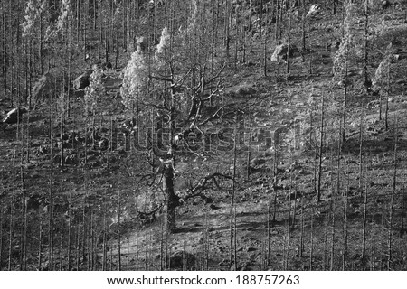 burned forest in black and white - stock photo