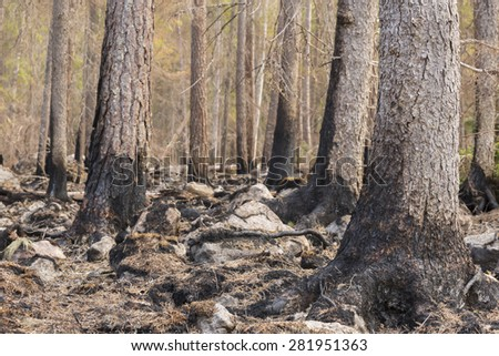 Burnt coniferous forest after a big forest fire in Sweden - stock photo