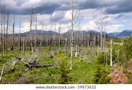 Burnt pine trees in Glacier national park Montana - stock photo