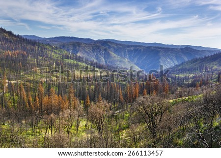 Burnt pine trees in Stanislaus national forest two years after Rim Fire - stock photo
