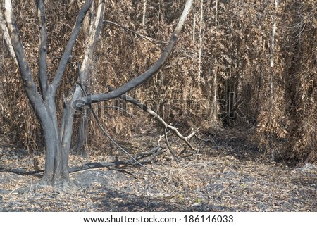 Burnt trees after a forest fire during the dry season in Malaysia - stock photo