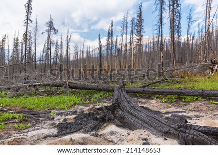 Burnt trees at the rocky mountains in the banff national park canada - stock photo