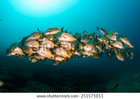 Burrito grunt (Anisotremus interruptus),colorful yellow fish in a school, baitball or tornado, the Sea of Cortez. Cabo Pulmo, Baja California Sur, Mexico. Cousteau named it The world's aquarium. - stock photo
