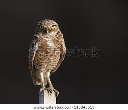 Burrowing Owl, Athene cunicularia, perched against a dark natural background - stock photo