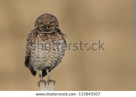 Burrowing Owl, Athene cunicularia, perched against a natural background; Pacific Northwest prairie wildlife, nature, & bird photography - stock photo