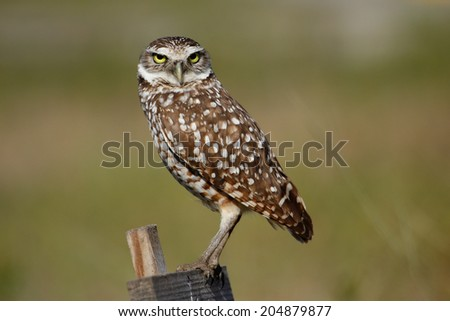 Burrowing Owl (Athene cunicularia) sitting on a wooden pole - stock photo