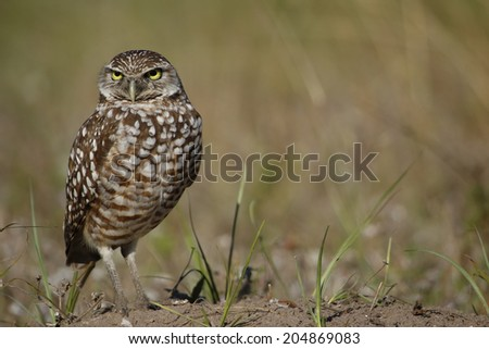 Burrowing Owl (Athene cunicularia) standing on the ground - stock photo