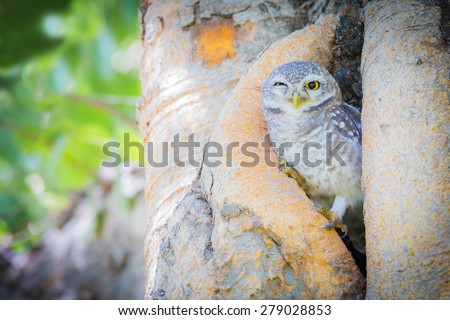Burrowing Owl (Athene cunicularia) standing on tree hole - stock photo