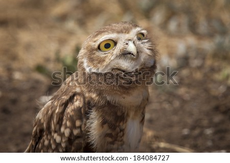 Burrowing Owl (Athene cunicularia) with evil face looking at camera. Patagonia, Argentina, South America - stock photo