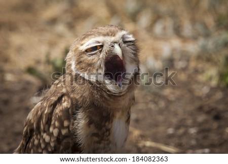 Burrowing Owl (Athene cunicularia) yawning. Patagonia, Argentina, South America - stock photo