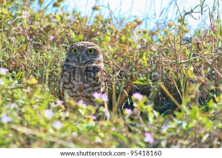 Burrowing Owl emerges from his den. - stock photo