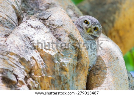 Burrowing Owl hire on the tree hole - stock photo