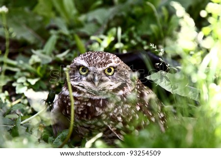 Burrowing Owl in culvert amongst vegetation - stock photo