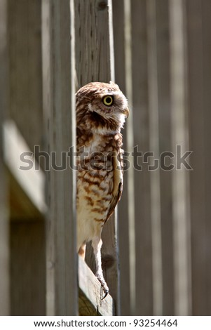 Burrowing Owl perched on fence - stock photo