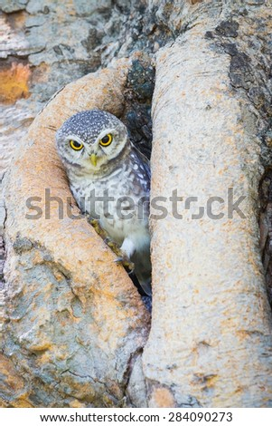 Burrowing Owl stand on the tree hole - stock photo