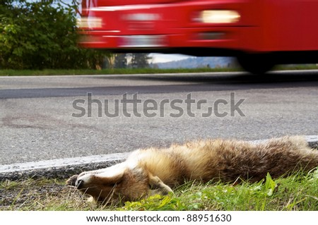 Bus driving past a roadkill fox. - stock photo