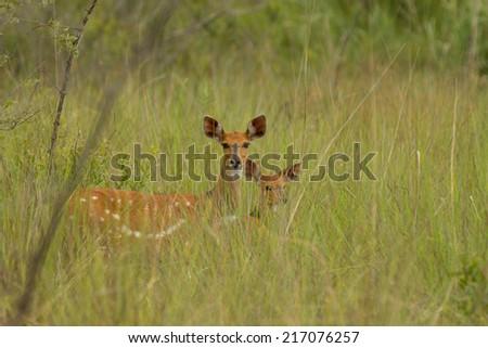 bush-bock female with baby (Namibia) - stock photo