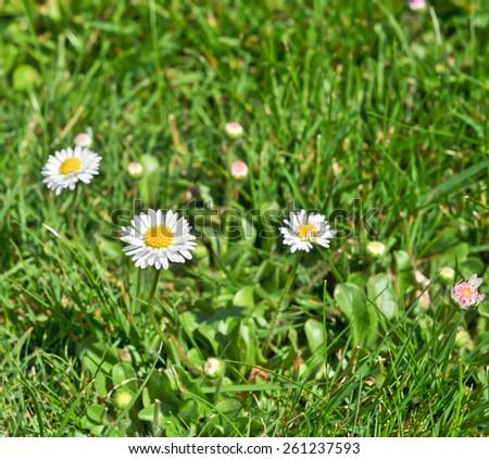 bush daisies in green grass - stock photo