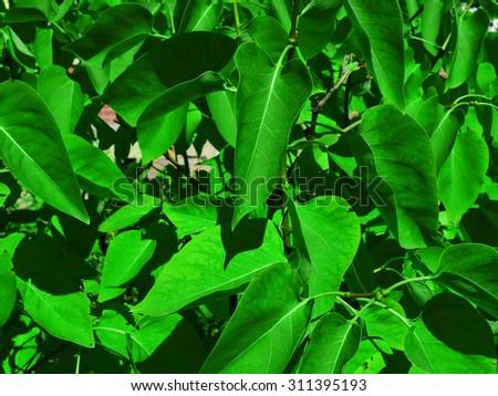 Bush foliage, close-up photo - stock photo
