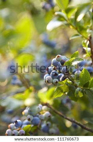 Bush of a ripe bilberry in the summer closeup - stock photo