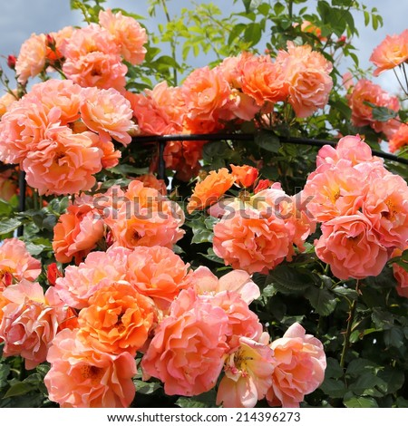 Bush of beautiful pink and orange roses in the garden - stock photo