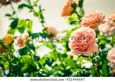 Bush of beautiful pink roses in a garden. Filtered shot - stock photo
