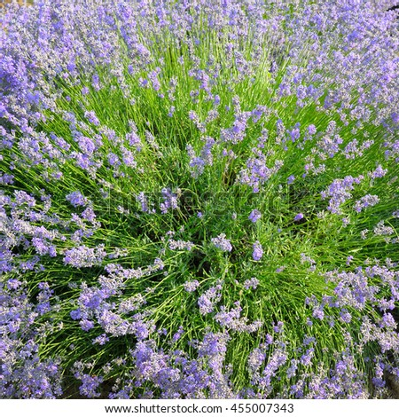 bush of blossoming lavender in the summer field - stock photo