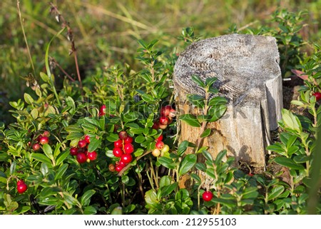 bush of cranberries around the old stump in the forest, Russia, Karelia, 2014 - stock photo