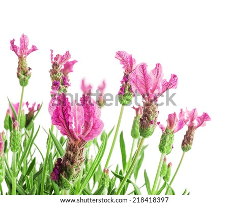 Bush of lavender flowers isolated on white background.Selective focus. - stock photo