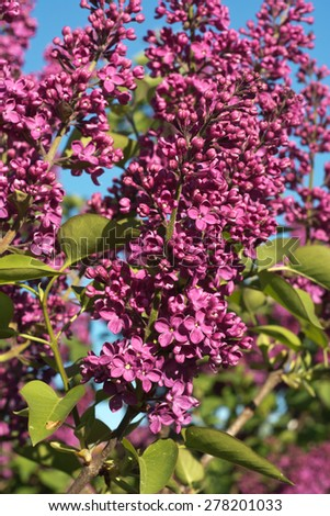 Bush of Lilac Flowers in Springtime Bloom - stock photo