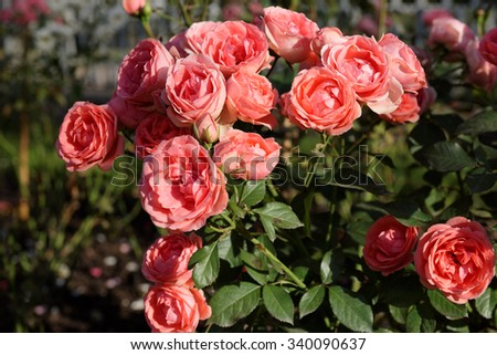 Bush of scarlet roses in a garden - stock photo