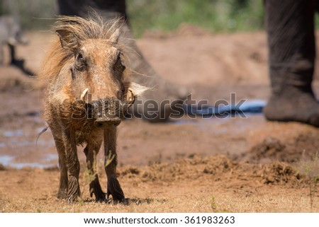 Bush pig in Addo Elephant Park - stock photo