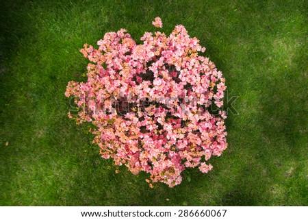 bush plant foliage leaves pink flower beautiful lawn - stock photo
