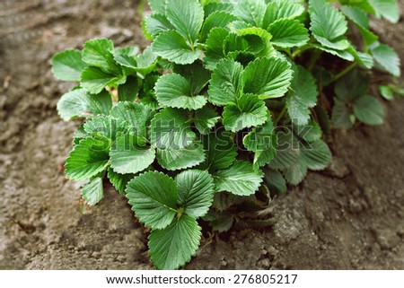 Bush planted a bed of strawberries - stock photo