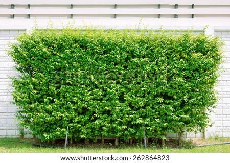 Bush trimmed into square shape - stock photo