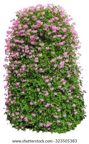 Bush with flowers on isolated white background - stock photo