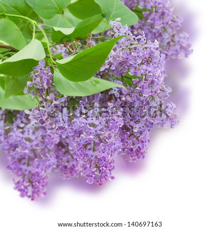 Bush with with lilac flowers  isolated on white background - stock photo