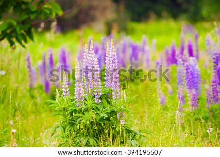 bushes of blooming lupine flowers, natural background - stock photo