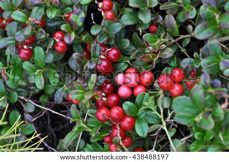 Bushes of cranberries in late summer on the Taimyr Peninsula. - stock photo