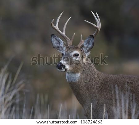 Bust Shot of Whitetail Buck Deer in Grassland Habitat - stock photo
