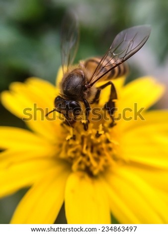 Busy honey bee eating flower nectar for food on yellow flower petal in garden nature: National honey bee day: Insect animal life healthy living harmony summer season in natural environment ecosystems - stock photo