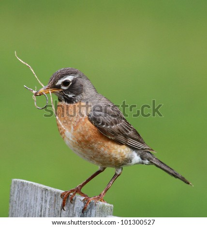 Busy Robin building its nest - stock photo