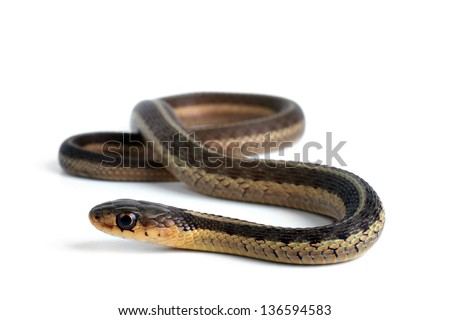Butler's Gartersnake - stock photo