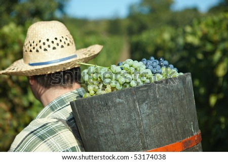 Butt full of grapes during the vintage. - stock photo