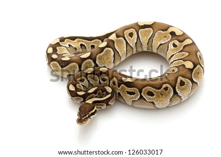 butter ball python (Python regius) isolated on white background. - stock photo