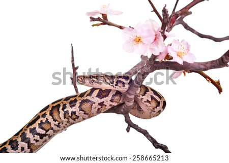 butter ball royal python moorish viper boa snake on a branch with flowers isolated on white - stock photo