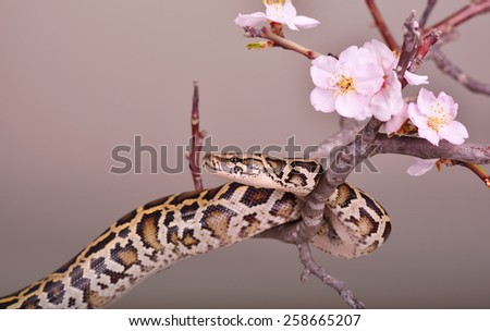 butter ball royal python snake moorish viper boa on a branch with flowers - stock photo