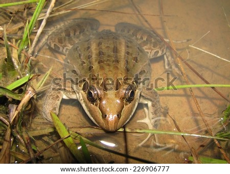 Butter frog - stock photo